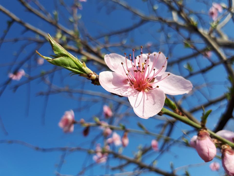Branch, Tree, Flower, Cherry, Nature, Season, Plant