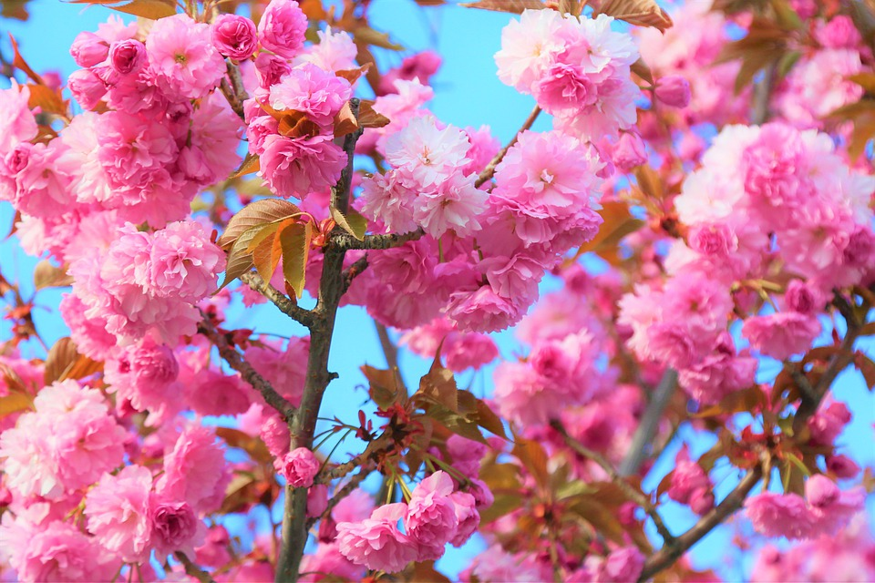 Flowers, Cherry, Nature, Spring, Pink, Tree, Blooming
