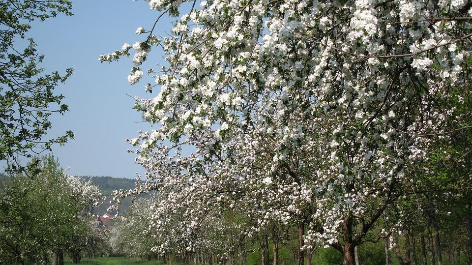 Tree, Cherry Wood, Season, Flower