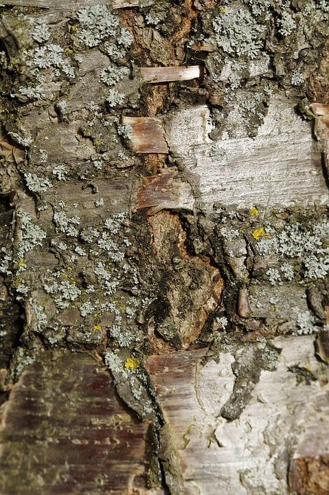 Bark, Tree Bark, Cherry, Cherry Tree, Tree, Close Up