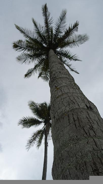 Coconut Tree, Trunk, Tree, Palm, Wood, Tropical, Cloudy