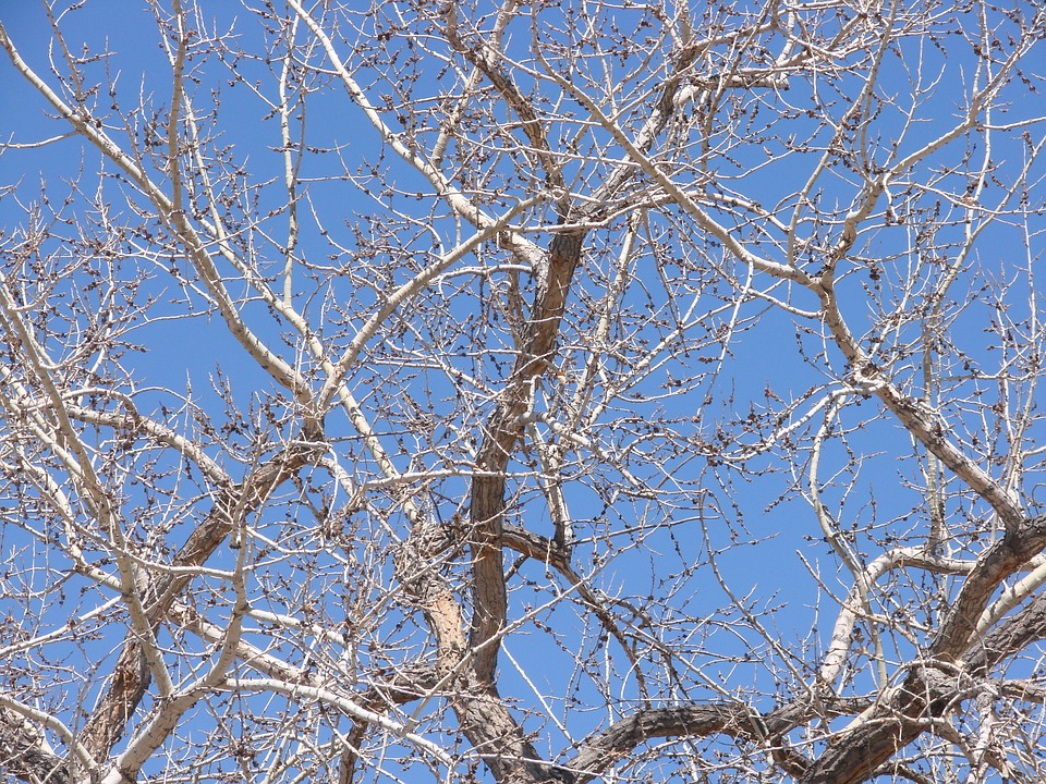 Cottonwood, Tree, Spring, Branches