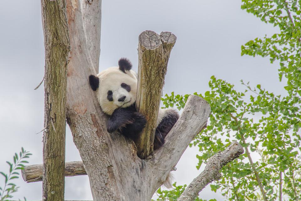 Nature, Tree, Wood, Animal, Panda, Tree Trunk, Cute