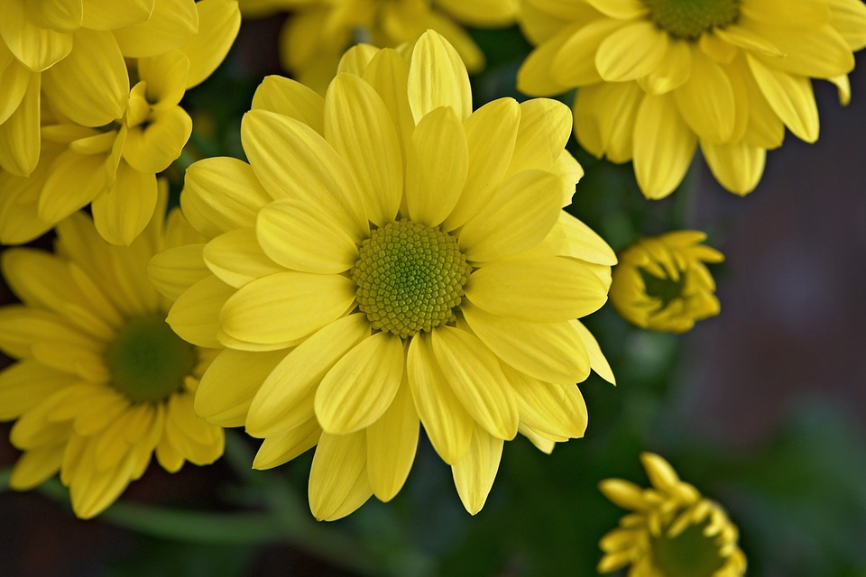 Marguerite, Tree Daisy, Flower, Plant, Flowers, Yellow