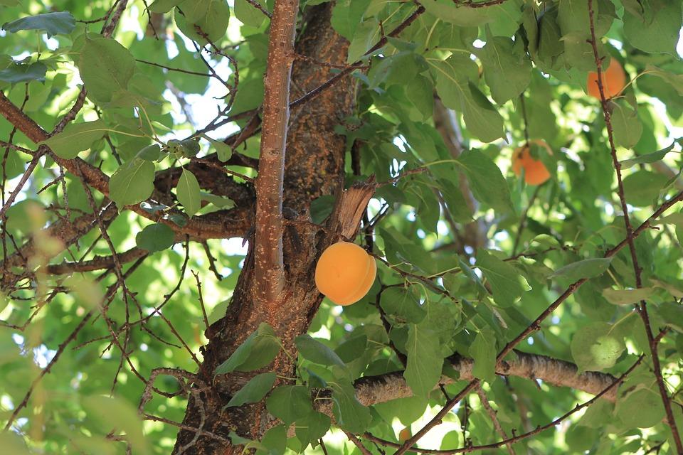 Tree, Damascus, Fruit