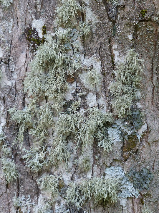 Lichen, Brush Braid, Doris Farinacea, Tree, Bark