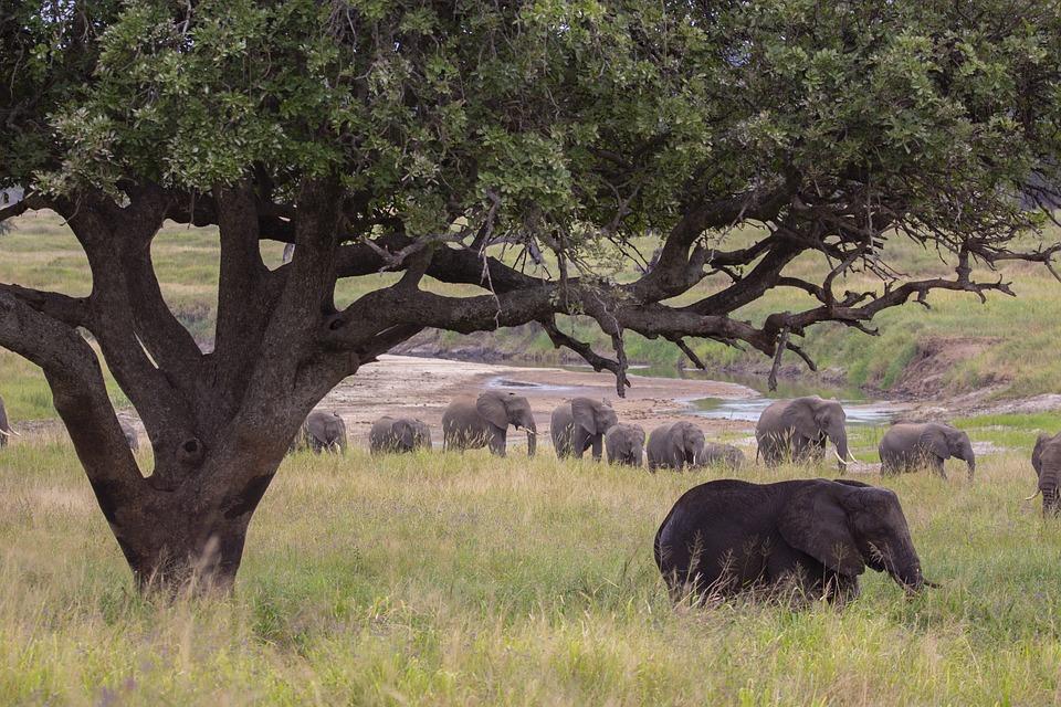 Elephant, Tree, Safari