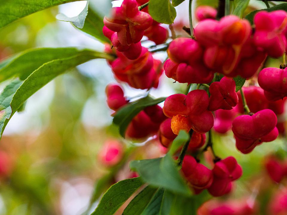 Spindle, Fruits, Plant, Shrub, Tree, European Spindle