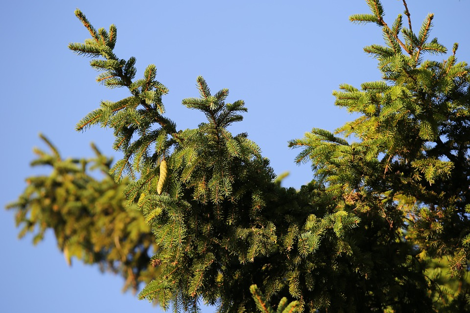 Tree, Spruce Tree, Leaves, Branches, Cones, Evergreen