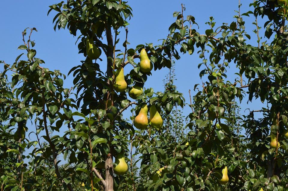 Pear, Orchard, Fruit, Tree, Farm, Fall, Harvest