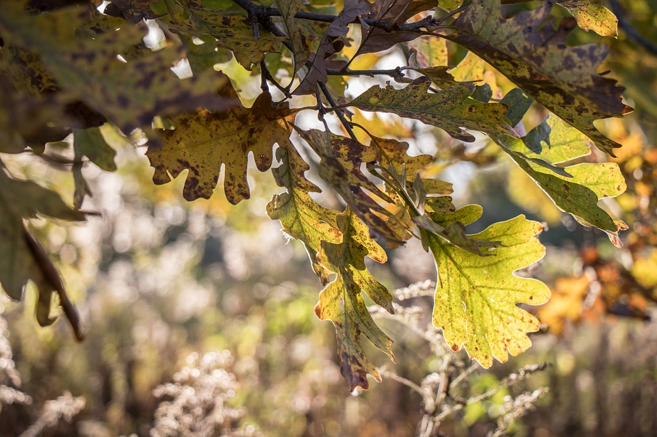 Leaf, Tree, Nature, Flora, Season, Fall, Oak, Leaves