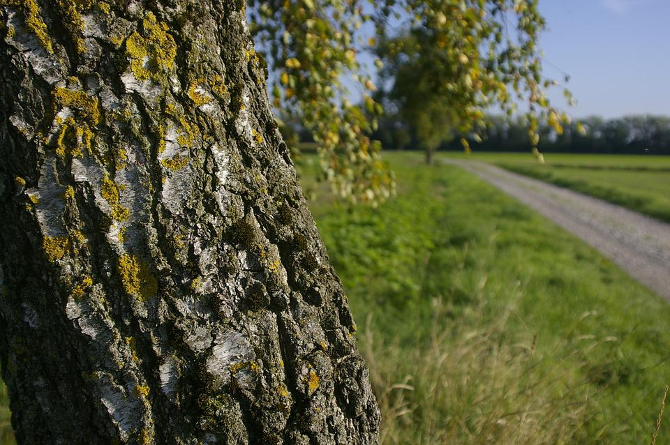 Birch, Tree, Field, Nature, Summer, Bark, Log