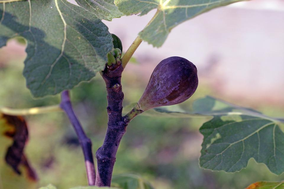 Fig, Fruit, Purple, Tree, Leaves, Leaf, Summer, Natural