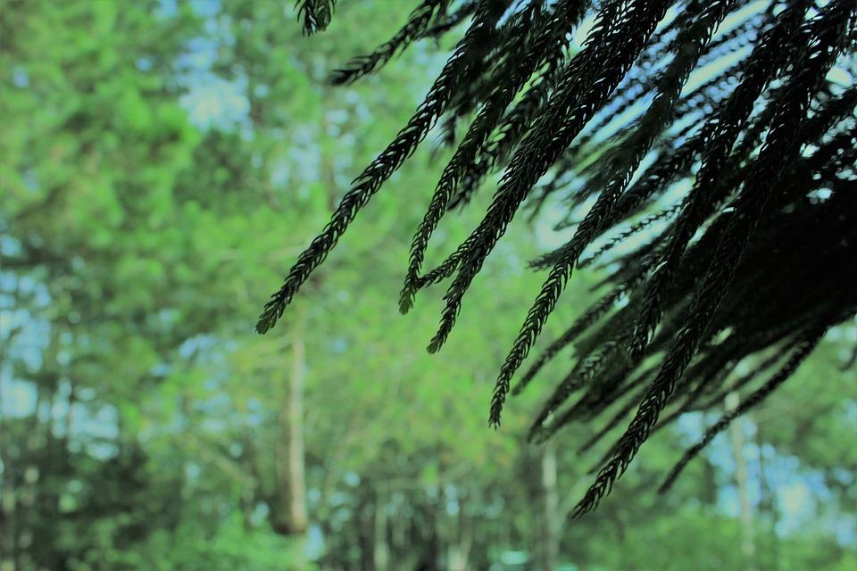 Tree, Spruce, Pine Tree, Conifer, Coniferous, Fir