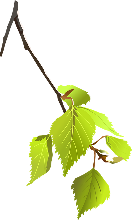 Leaves, Branch, Plant, Birch Tree, Tree, Flora, Cut Out