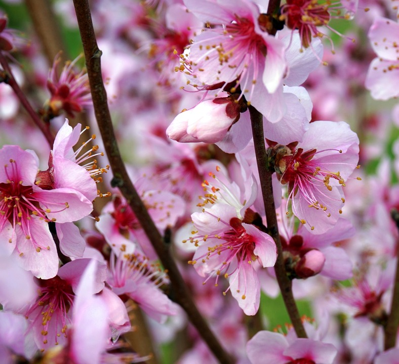 Almond Blossom, Flower, Cherry Wood, Tree, Branch