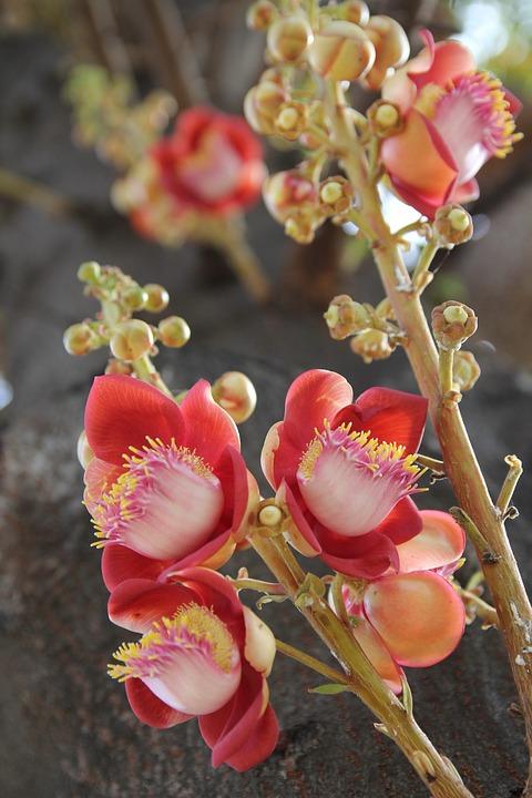 Sala, Flower, Buddha, Nature, Tree, Blossom, Pink
