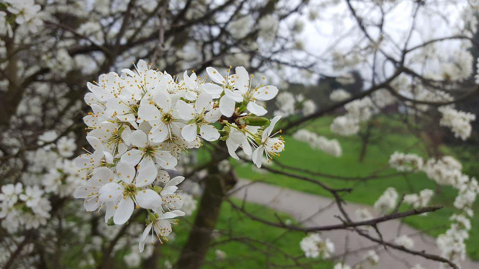Tree, Plum, Branch, Flower