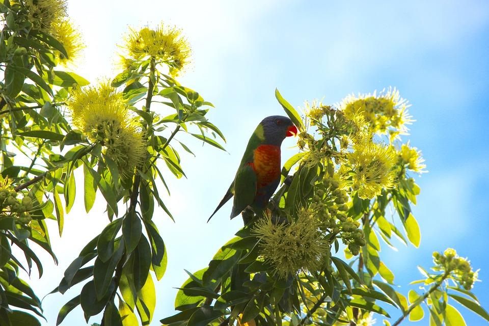 Lorikeet, Parrot, Native Flower, Flower, Hello, Tree