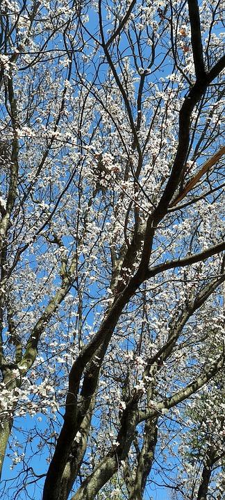 Spring, Flower, Tree, Flora, Blooming, Sky, Trees