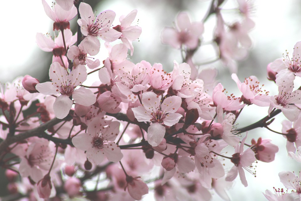 Cherry Blossoms, Flowers, Tree, Bloom, Spring, Bud