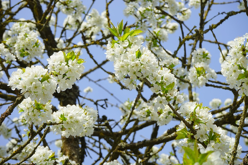 Cherry Blossom, Branches, White, Flowers, Tree