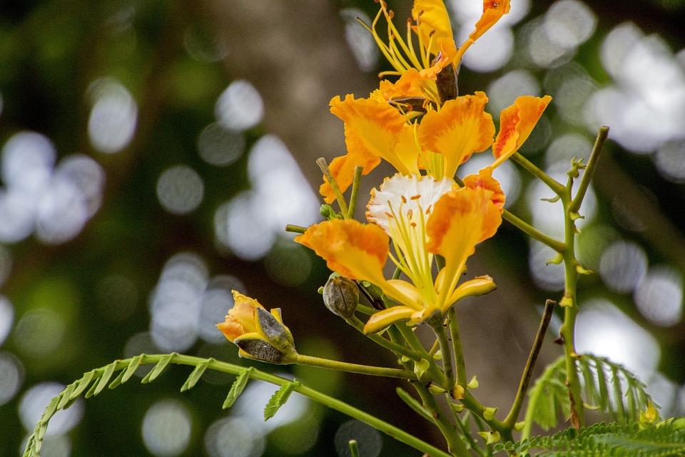 Flamboyant, Flower, Flowers, Tree, Nature, Plant