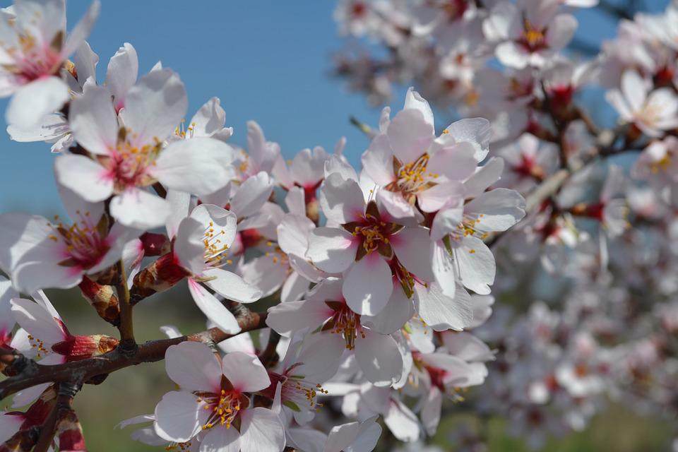 Spring, Flowers, Apricot, Garden, Pink, Tree