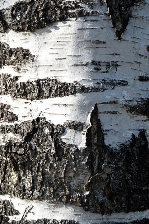 Birch, Bark, Denmark, Tree, Forest, Nature, Texture