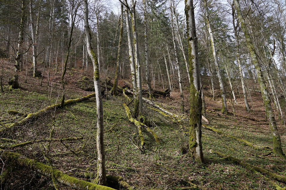 Forest, Tree, Nature, Fridingen, Germany, Tribe