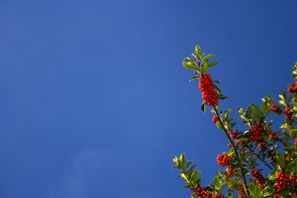 Holly, Christmas, Blue, Sky, Red, Fresh, Tree, Bush