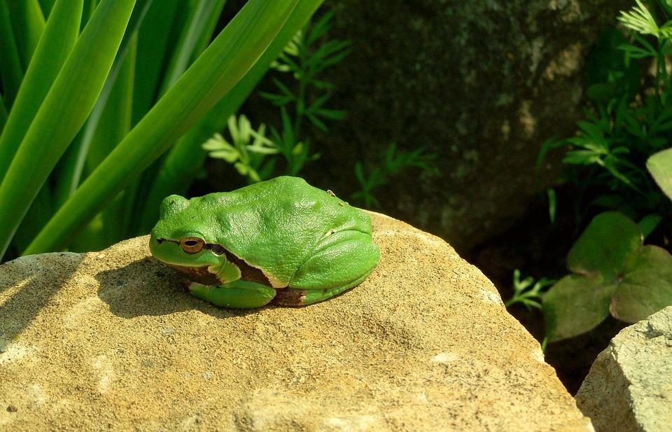 Tree Frog, Green, Amphibian
