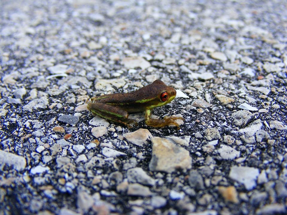 Frog, Tree Frog, Amphibian, Green, Macro