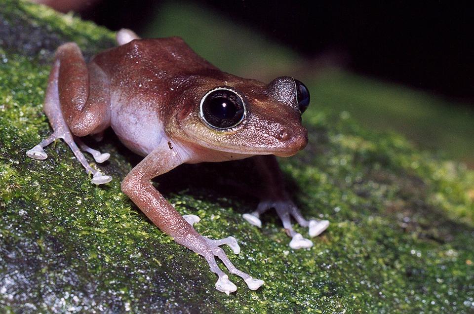 Guajon, Frog, Tree, Branch, Limb, Close-up, Macro