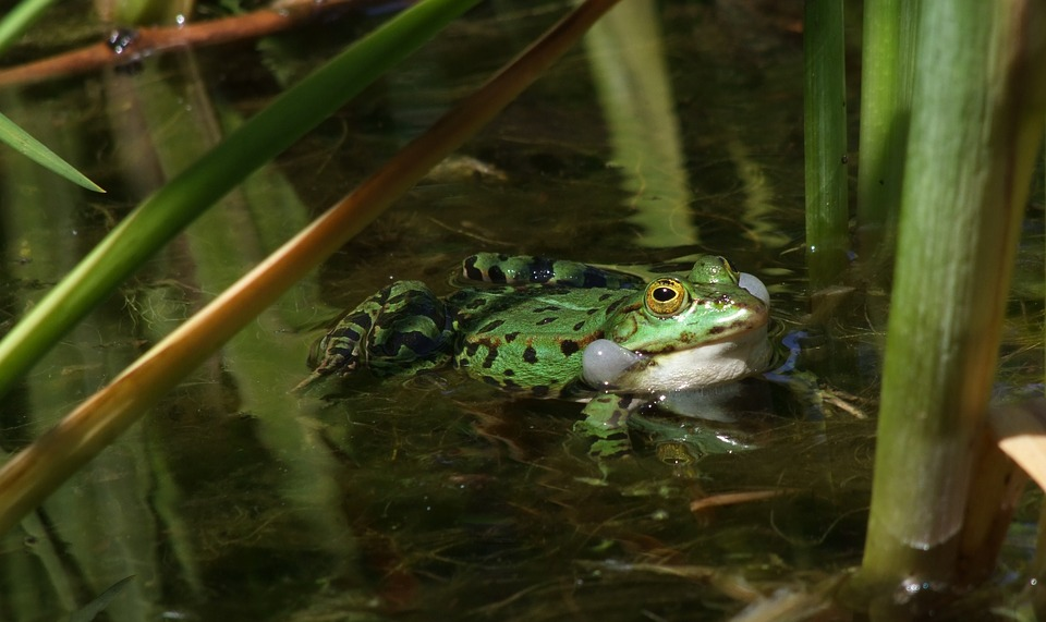 Tree Frog, Frog, Love To Advertise, Courtship, Pond