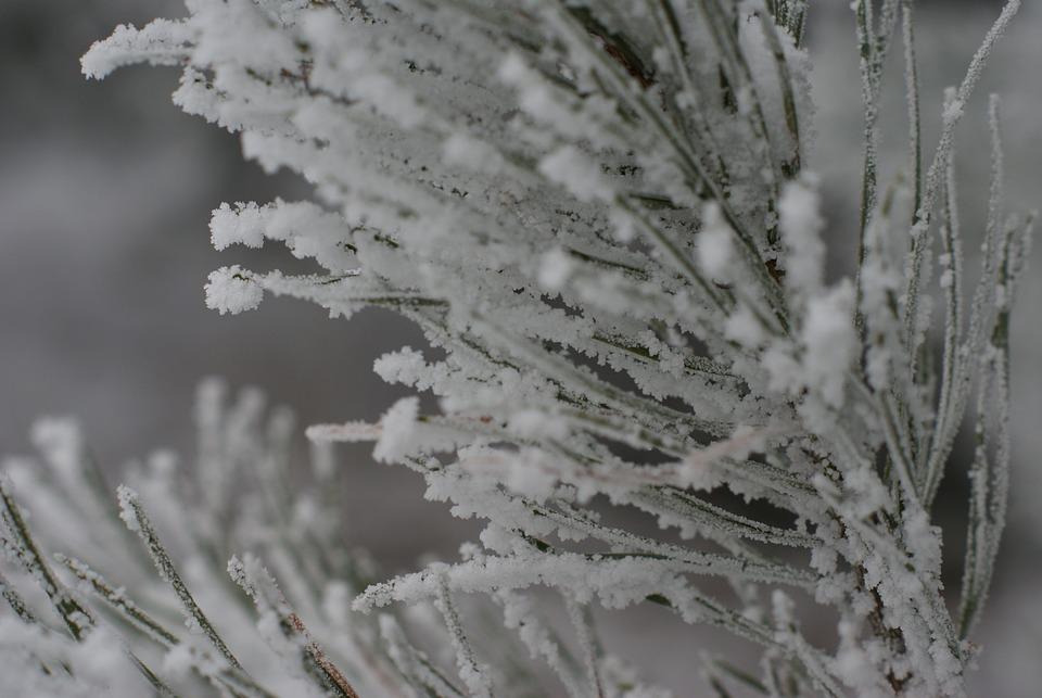 Winter, Snow, Frost, Tree, Needles, Sprig