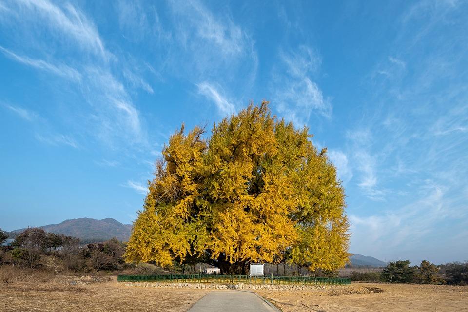 Ginkgo, Autumn, Half A World Away, Wood, Gold, Tree