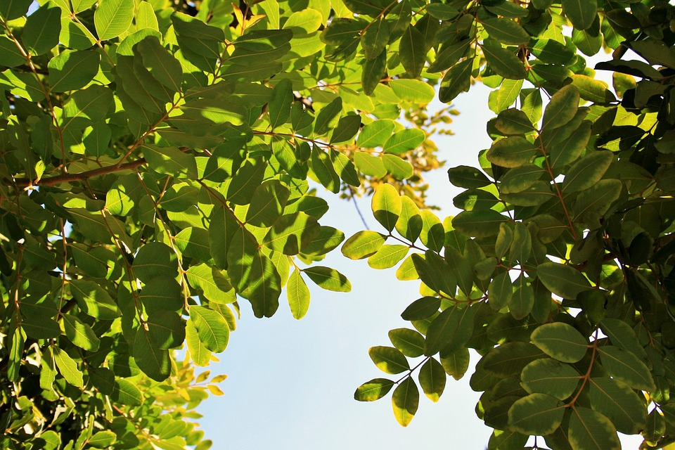 Tree, Carob, Leaves, Rounded, Green, Bright
