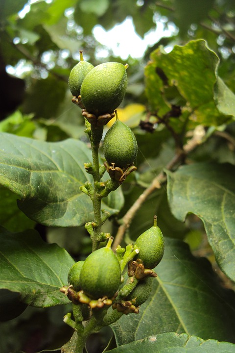 Green Fruit, Dubai Beralu, Unripen Fruit, Tree, Plum