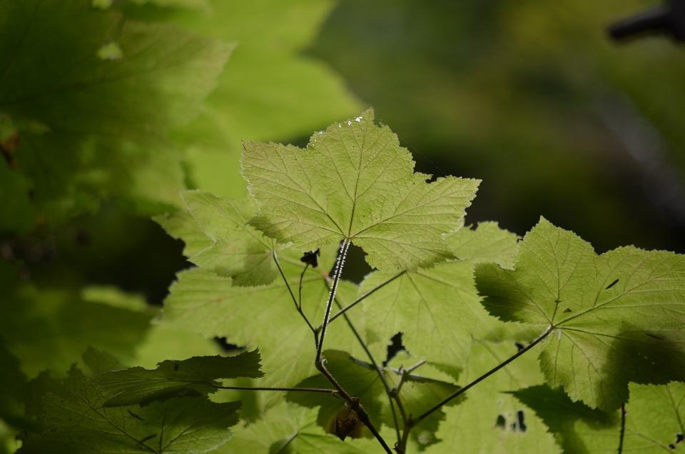 Maple, Tree, Nature, Leaf, Plant, Foliage, Green