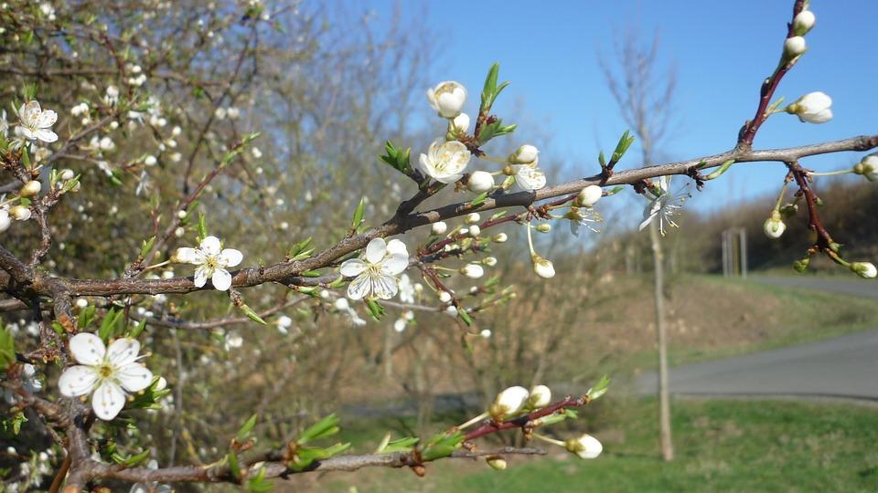 Flowering Twig, Tree, Greengage, Flowers, White