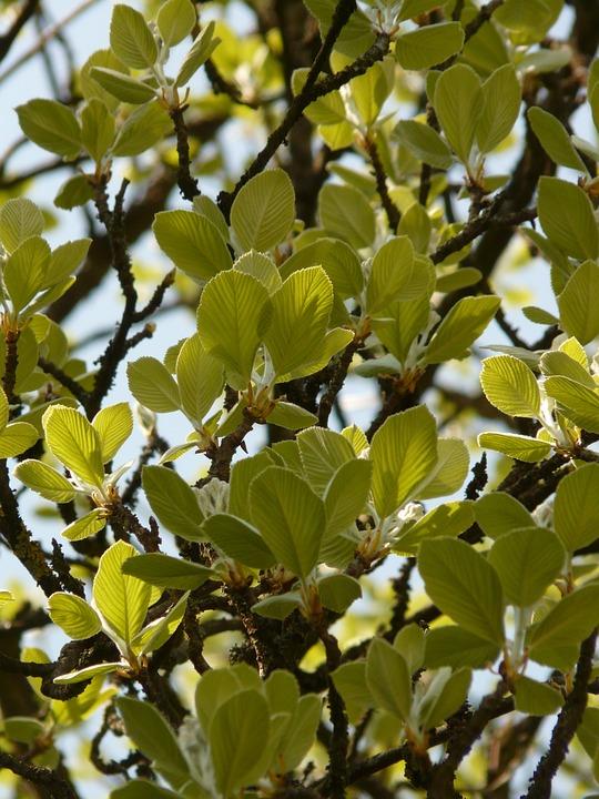 Real Whitebeam, Haw, Tree, Leaves, Backlighting, Airy