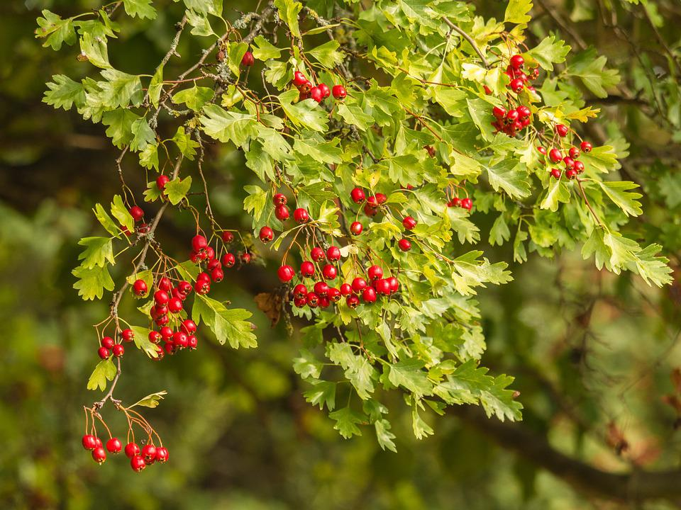 Tree, Branches, Plant, Aesthetic, Hawthorn