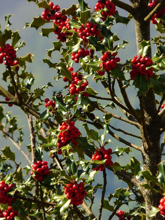 Holly, Plant, Nature, Tree, Red, Green