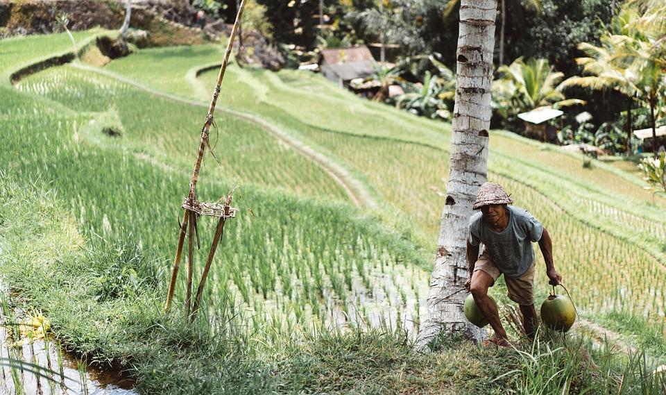 People, Man, Farming, Coconut, Tree, Rice, Field, Hut