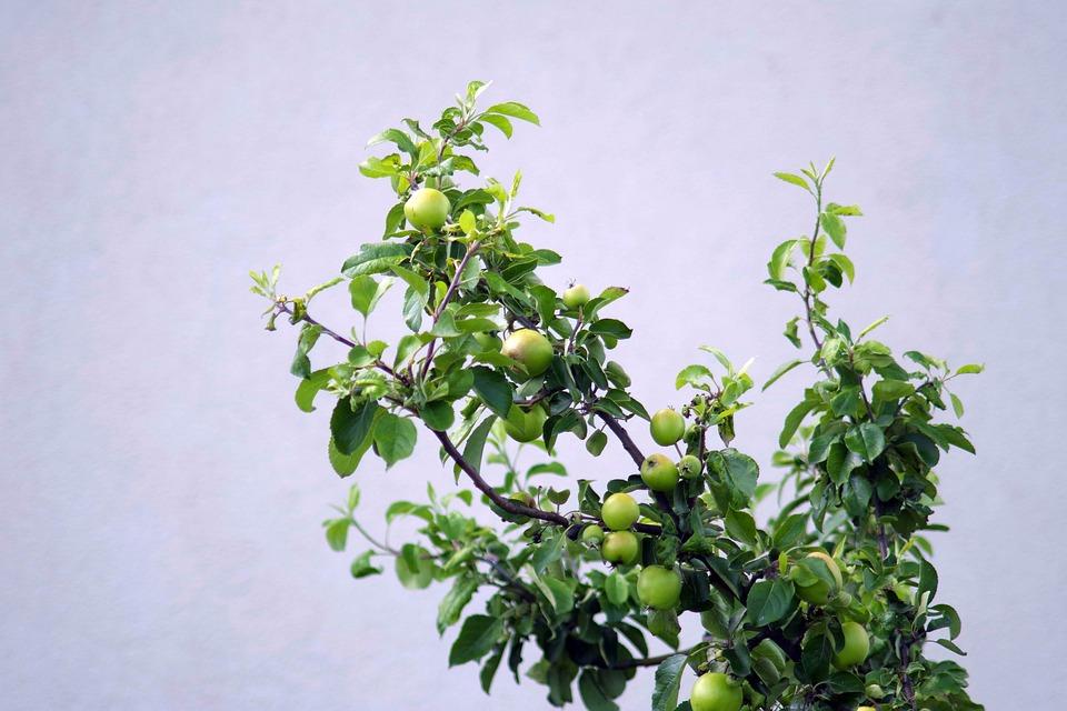 Apple, Apple Green, Immature, Apples, Tree, Fruit