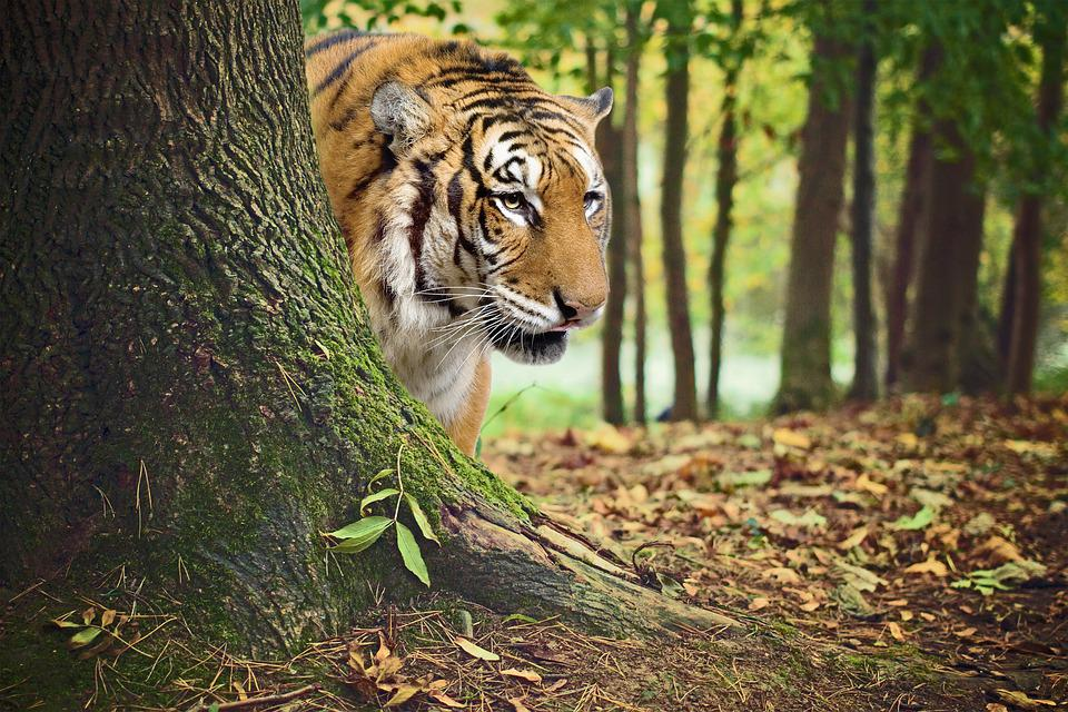 Animal, Tiger, India, Tiger Of Bengal, Tree, Fields