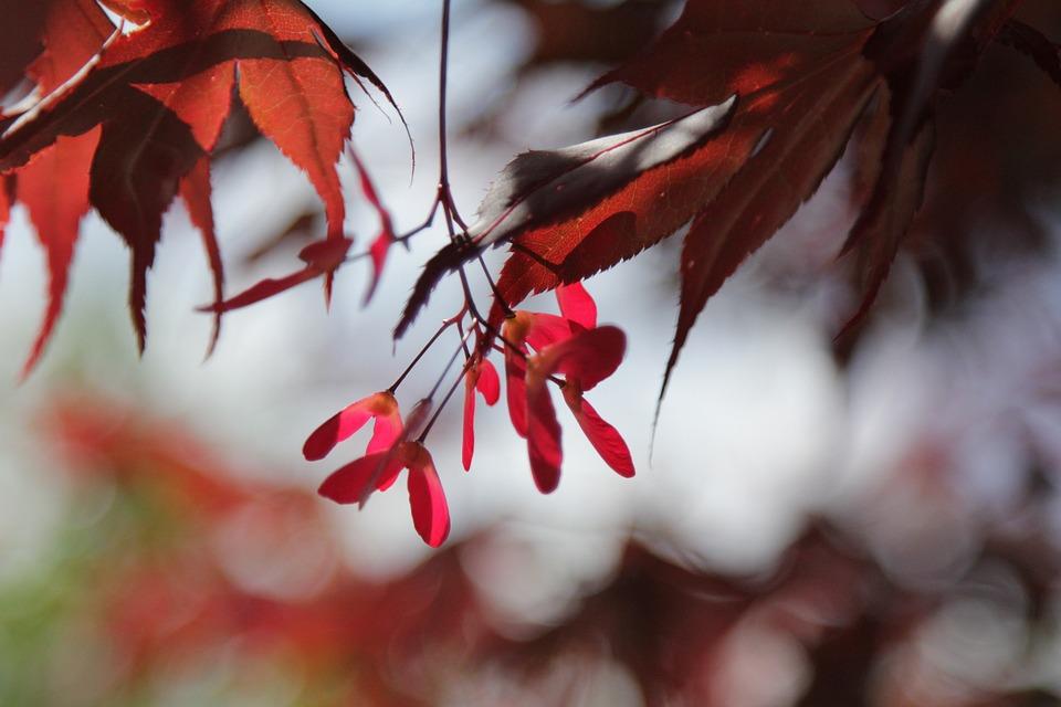 Tree, Leaves, Acer, Red, Summer, Maple, Infructescence