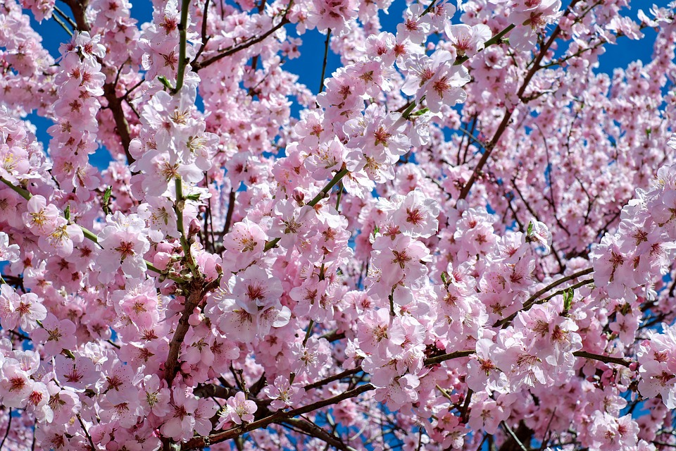 Anese Cherry Trees Flowers Pink Tree Flower