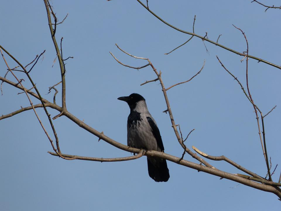 Crow, Branch, Tree, Bird, Kahl